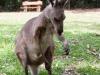 Een Kangaroo up-close