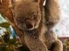 Chillende Koala
