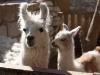 Lama\'s in de tuin van een Chileen