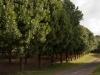 Macademia bomen