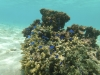 Blauwe vissen bij koraal